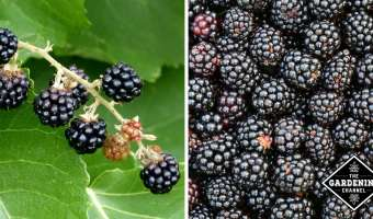 black berries growing and close up of harvested blackberries