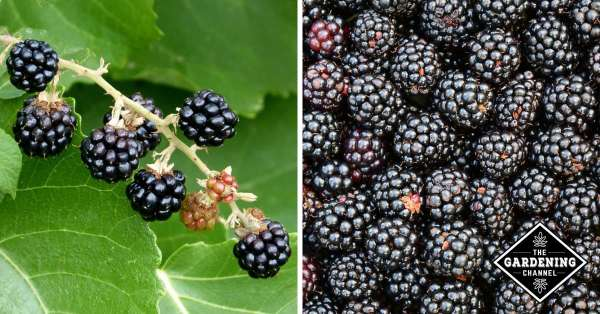 black berries growing and close up of harvested blackberries