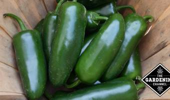 harvested jalapenos