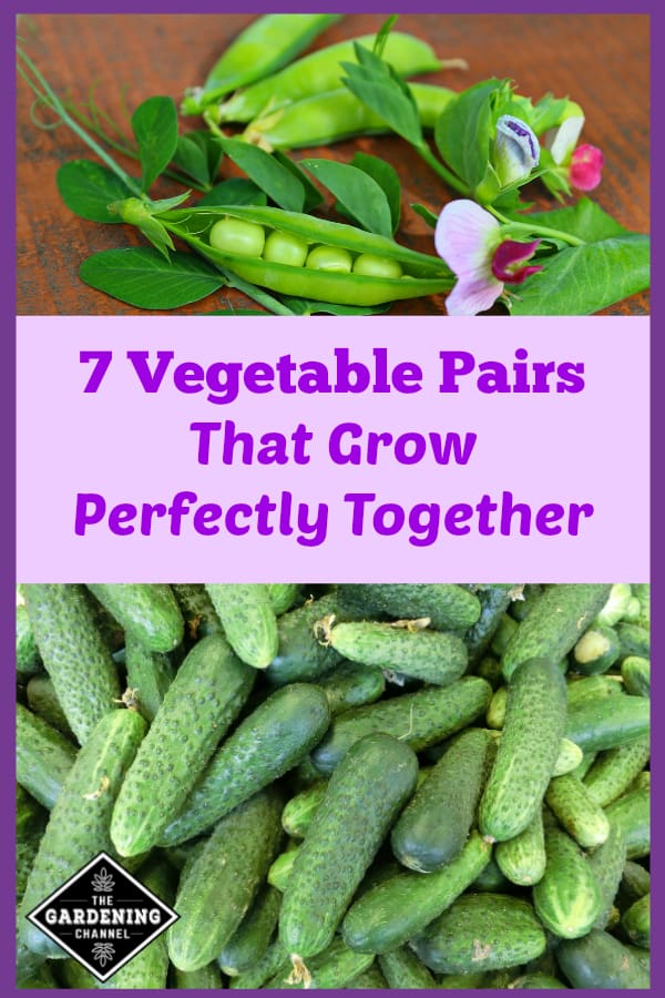 peas harvested from garden and cucumbers harvested from garden with text overlay seven vegetable pairs that grow perfectly together