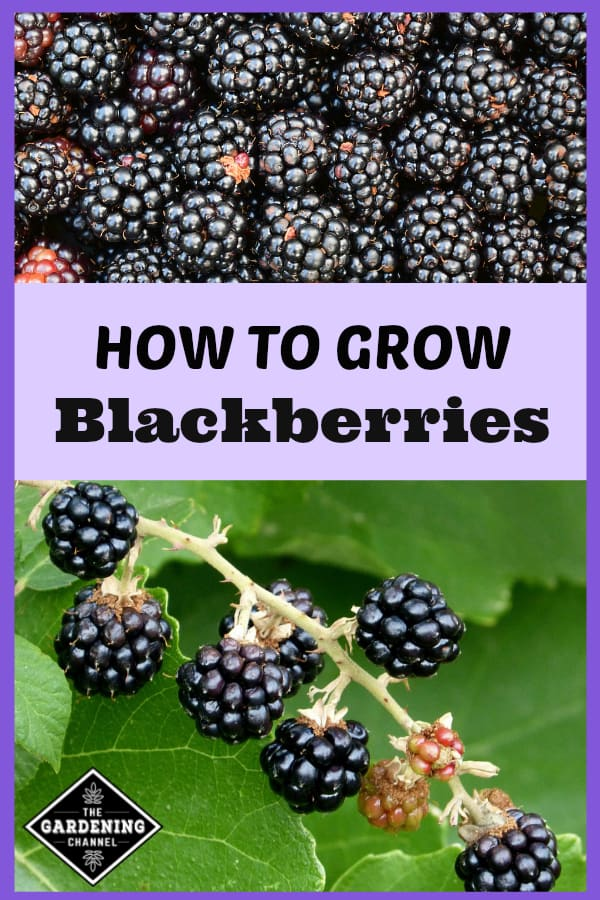 harvested fresh blackberries and closing up of blackberry bush with text overlay how to grow blackberries
