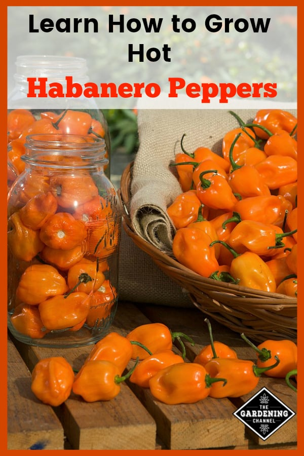 habanero peppers harvested with text overlay how to grow hot habanero peppers
