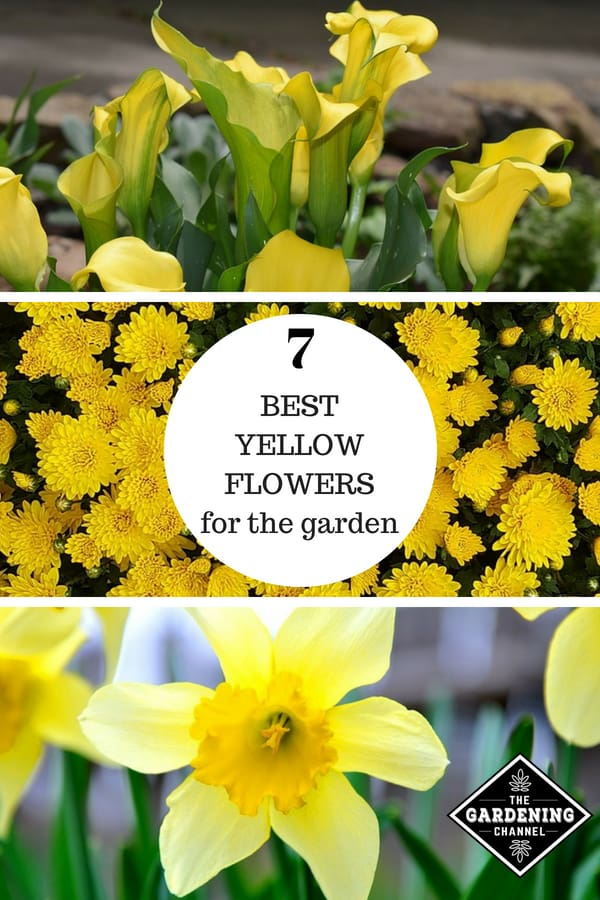 cala lily mum daffodil with text overlay seven best yellow flowers for the garden