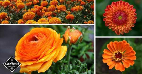 zinnia dahlia marigold Ranunculus
