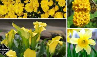 mums yellow butterfly bush cala lily daffodil