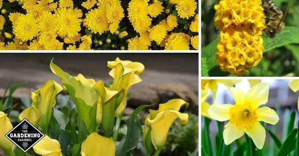 mums yellow butterfly bush cala lily daffodil