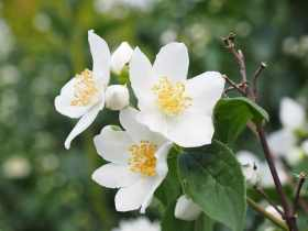 List of the best white flowers for your garden gardening channel jasmine white flower mightylinksfo