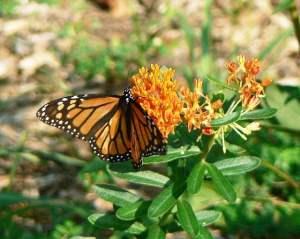 orange butterflyweed flower