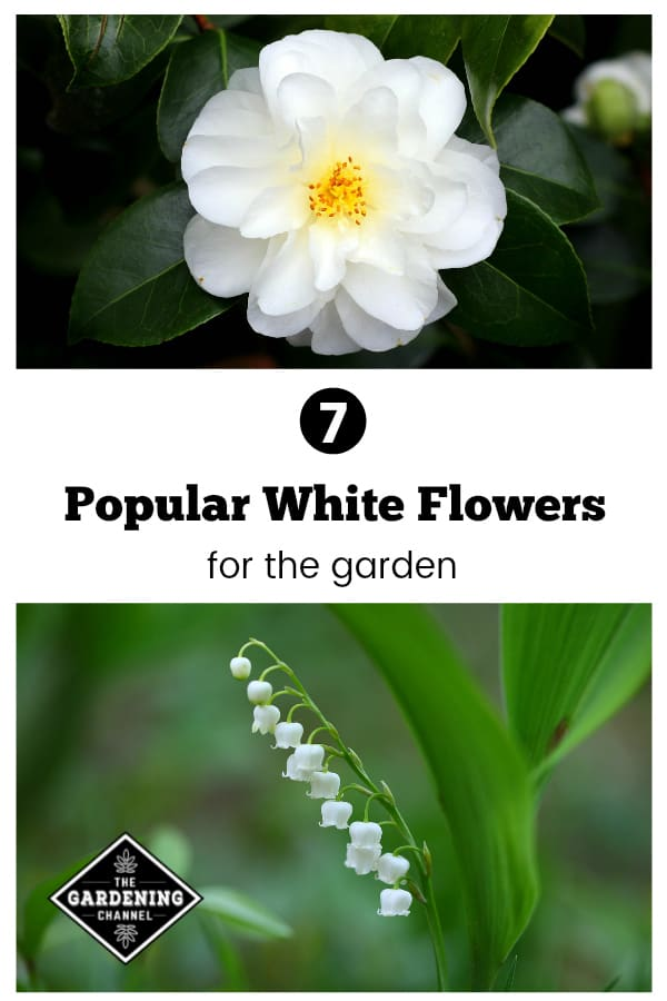 camellia and lily of valley in garden with text overlay seven popular white flowers for the garden