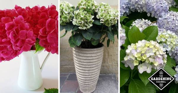 How To Revive Hydrangeas Gardening Channel