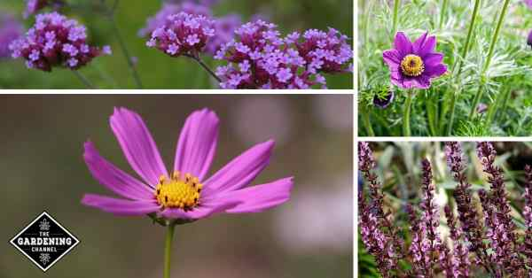 List of Easy to Grow Purple Flowers for Your Garden