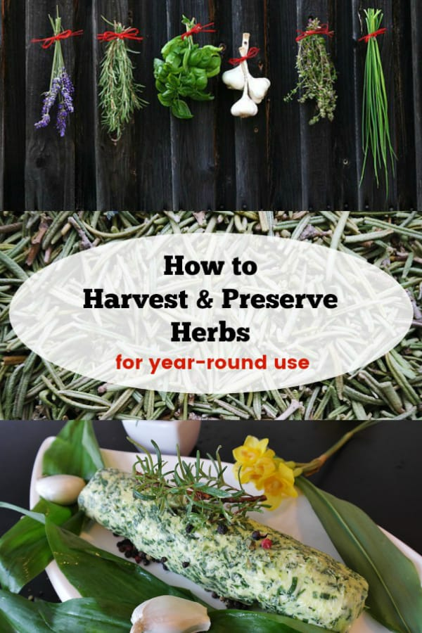 drying herbs dried rosemary herb butter with text overlay how to harvest and preserve herbs for year-round use