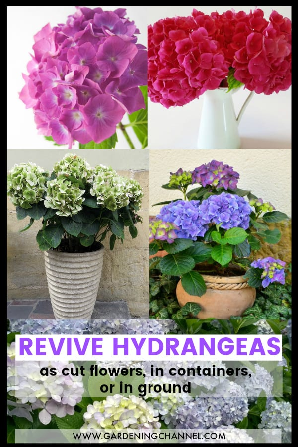 cut hydrangea flowers, potted hydrangea plants and planted hydrangeas with text overlay revive hydrangeas as cut flowers, in containers or in ground