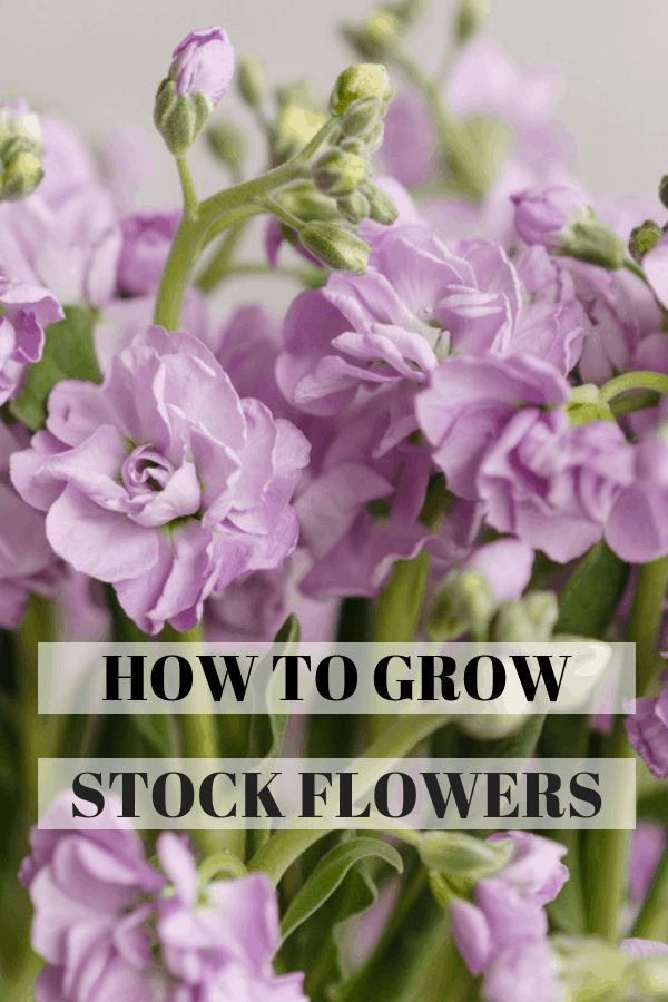 purple stock gillyflowers with text overlay how to grow stock flowers