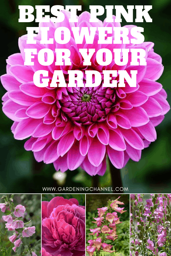 dahlia hollyhock peony foxglove pretty in pink with text overlay best pink flowers for your garden