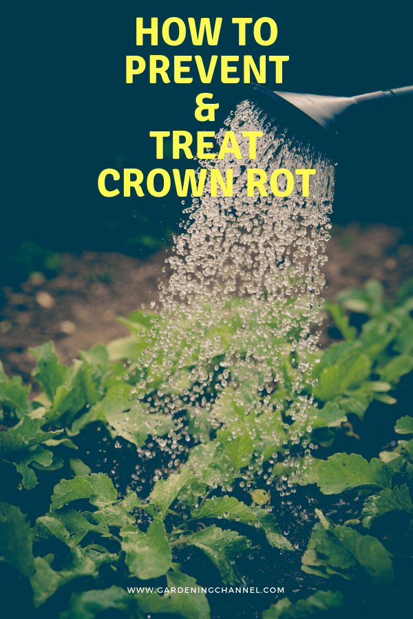 watering vegetable garden with text overlay how to prevent and treat crown rot