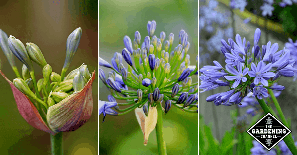 How To Grow Agapanthus Flowers (African Lily, Lily of the Nile, Star of Bethlehem)