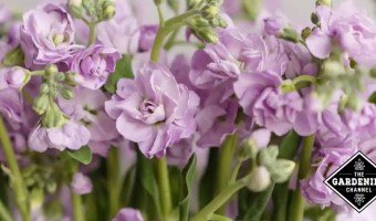How To Grow Stock Flower (Matthiola Incana, Gillyflower, Perfume Plant)