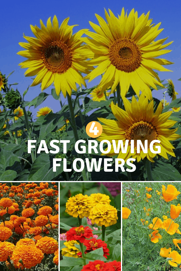 sunflowers marigolds zinnias california poppies with text overlay four fast growing flowers