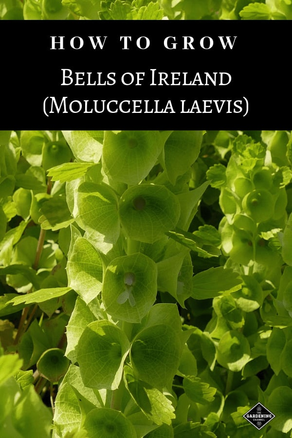 green bells of ireland with text overlay how to grow bells of ireland moluccella laevis