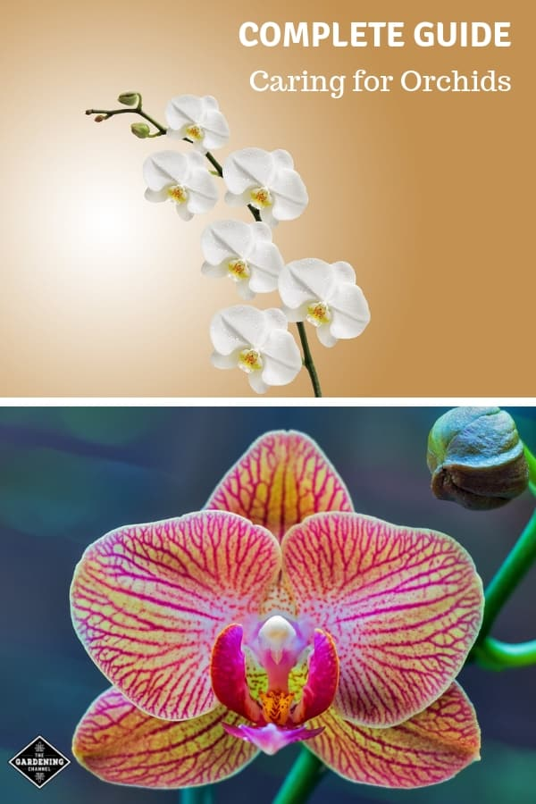 orchid white bloom and closeup of orchid bloom with text overlay complete guide caring for orchids