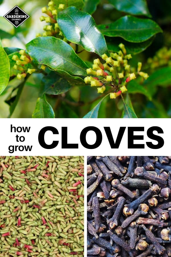 clove tree harvested cloves dried cloves with text overlay how to grow cloves
