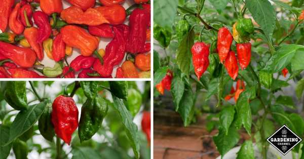 how to grow ghost hot peppers