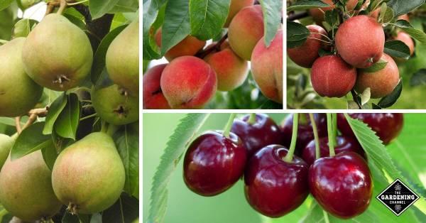 fruit tree growing tips