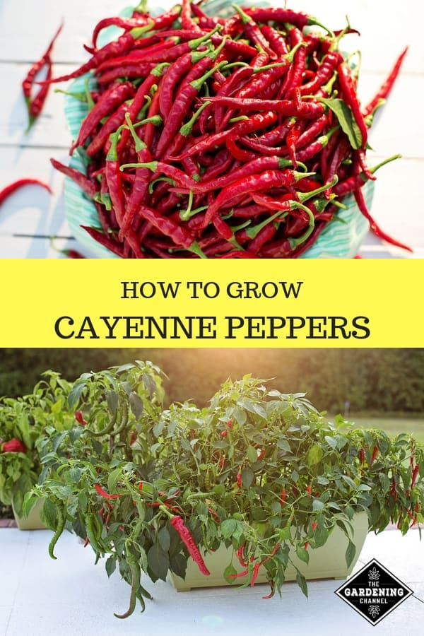 harvested cayenne peppers with text overlay how to grow cayenne peppers
