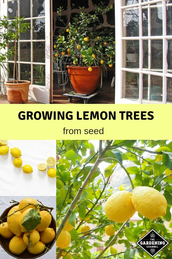 lemon tree container lemons harvest with text overlay growing lemon trees from seed