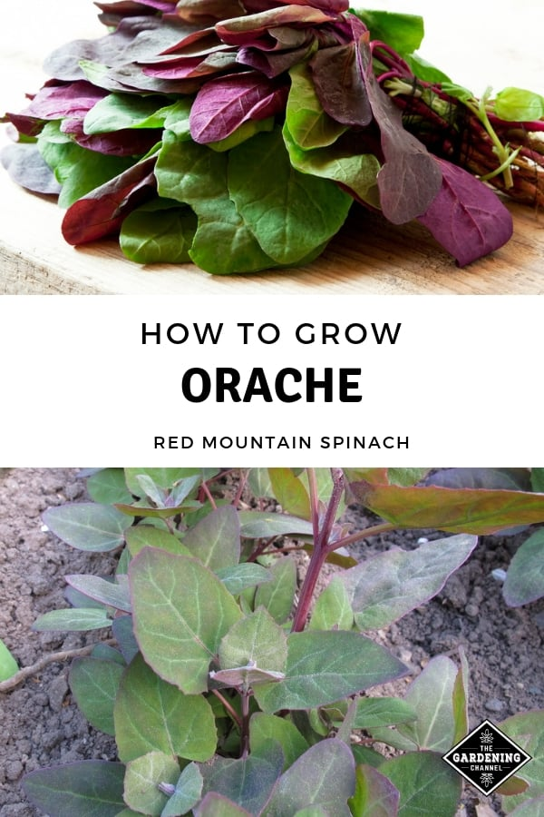 harvested orache and growing garden orach with text overlay how to grow orache red mountain spinach