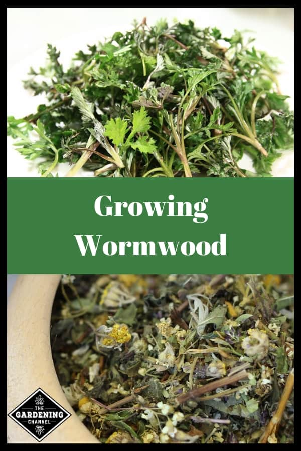 harvested and dried wormwood with text overlay growing wormwood
