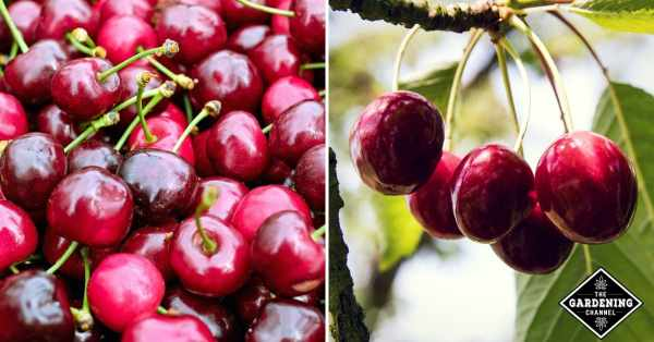 growing cherry trees from pits