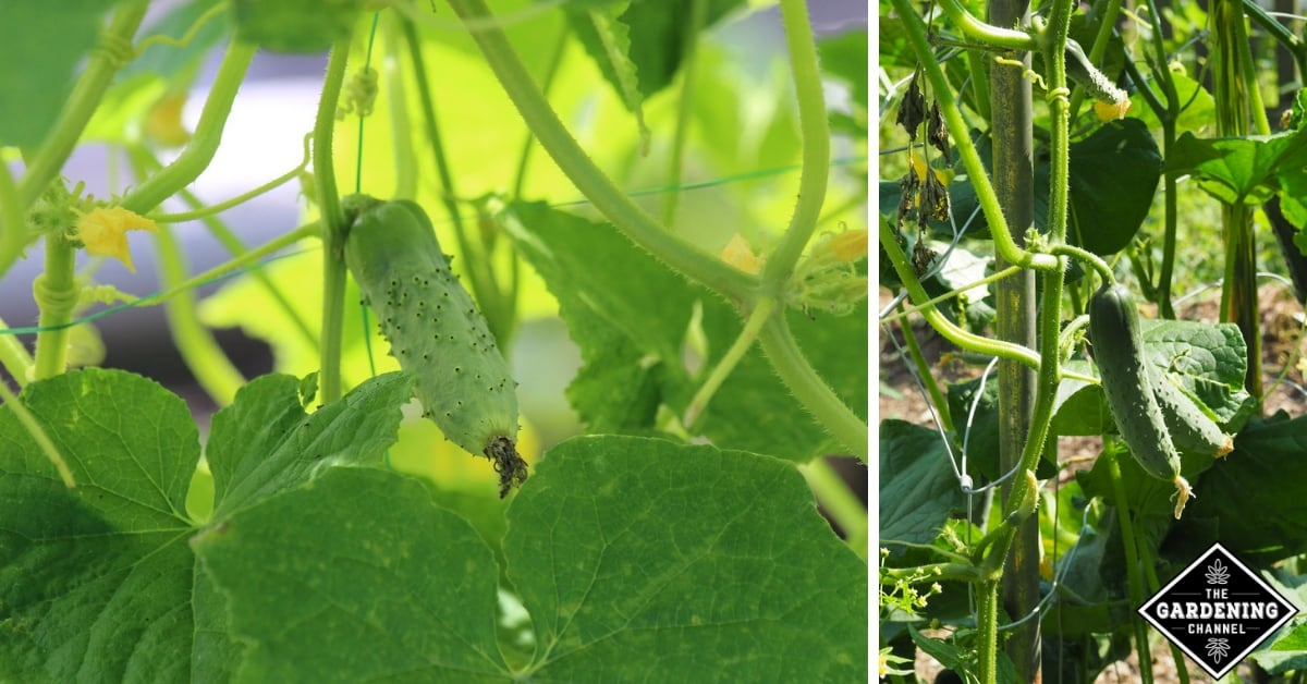 How To Grow Cucumbers Vertically Gardening Channel