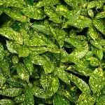 aucuba japonica shrub