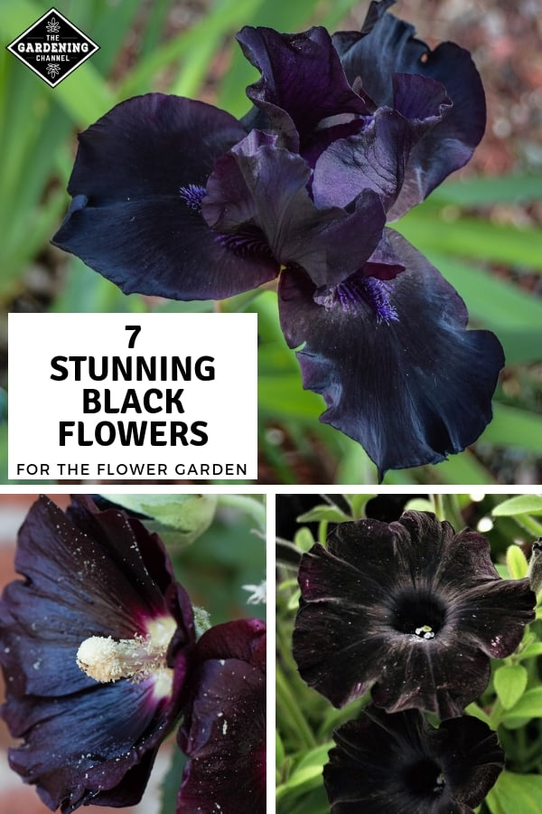 black iris hollyhock petunia with text overlay seven stunning black flowers for the flower garden