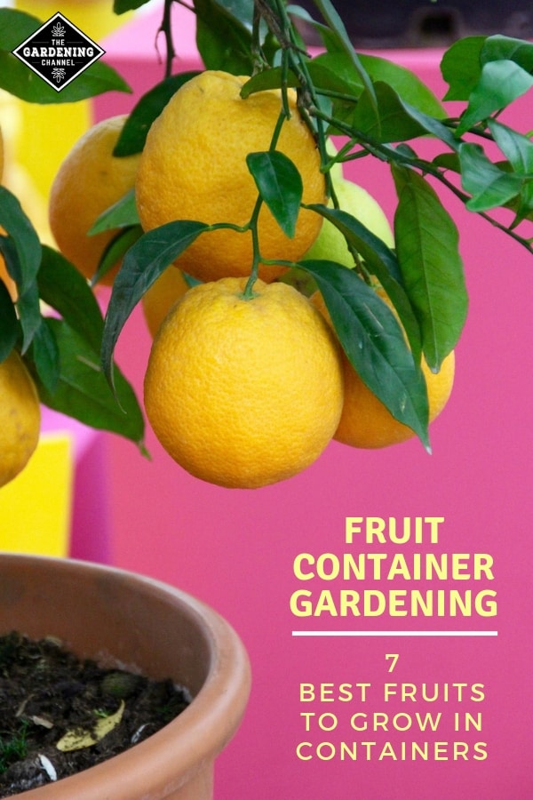 lemon tree in container with text overlay fruit container gardening seven best fruits to grow in containers