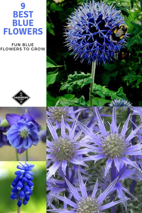 globe thistle sea holly columbine hyacinth with text overlay nine best blue flowers fun blue flowers to grow