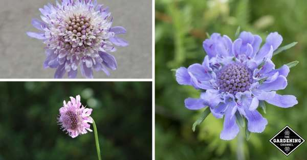 growing pincushion flowers