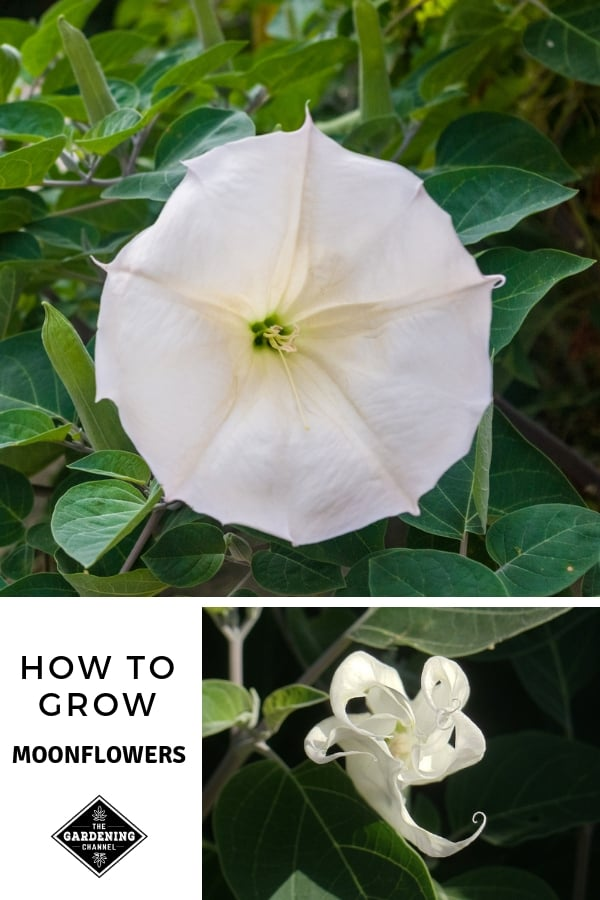 moonflower blooming with text overlay how to grow moonflower