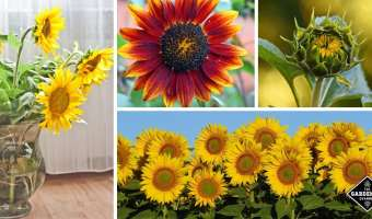 growing sunflowers in garden