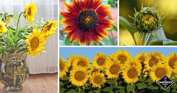 growing sunflowers in garden