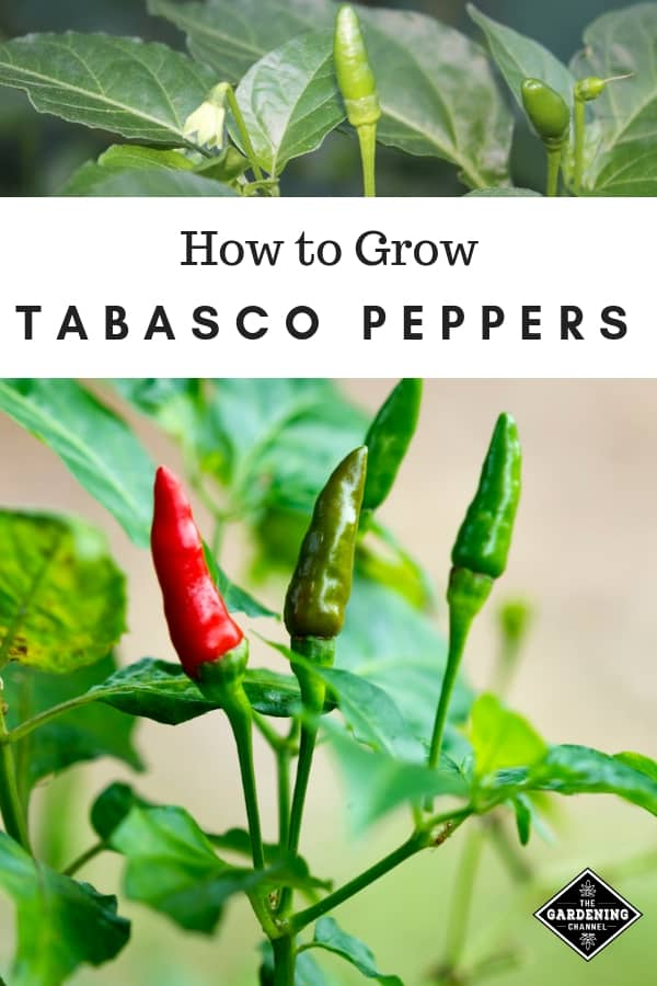 tabasco peppers on plant in garden with text overlay how to grow tabasco peppers