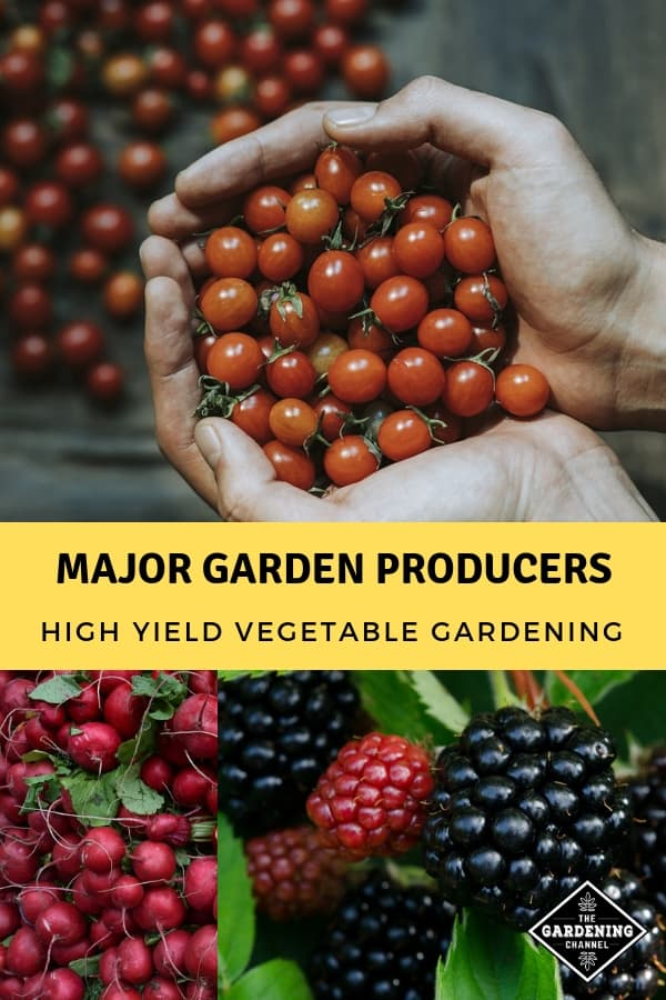 cherry tomatoes radishes blackberries with text overlay major garden producers high yield vegetable garden