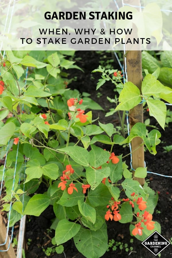 peas in trellis with text ovleray garden staking when why how to stake garden plants