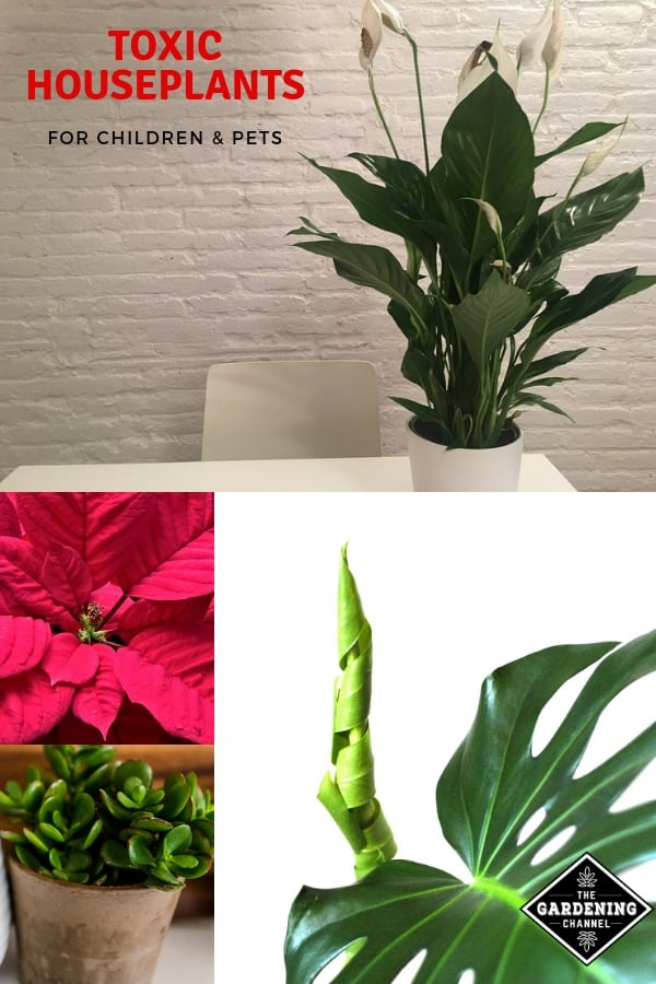 peace lily jade poinsettia philodendron with text overlay toxic houseplants for children and pets