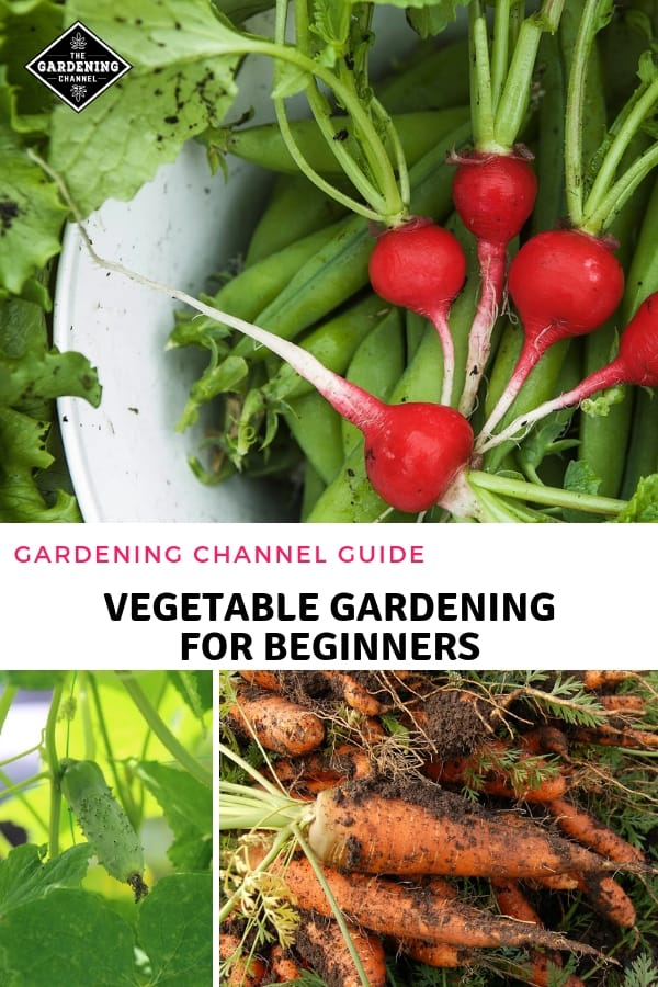 harvest fresh vegetables with text overlay gardening channel guide vegetable gardening for beginners