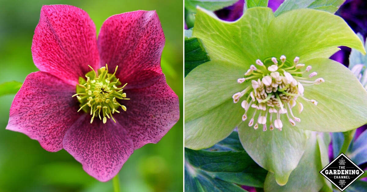How To Grow Hellebores Flowers Gardening Channel