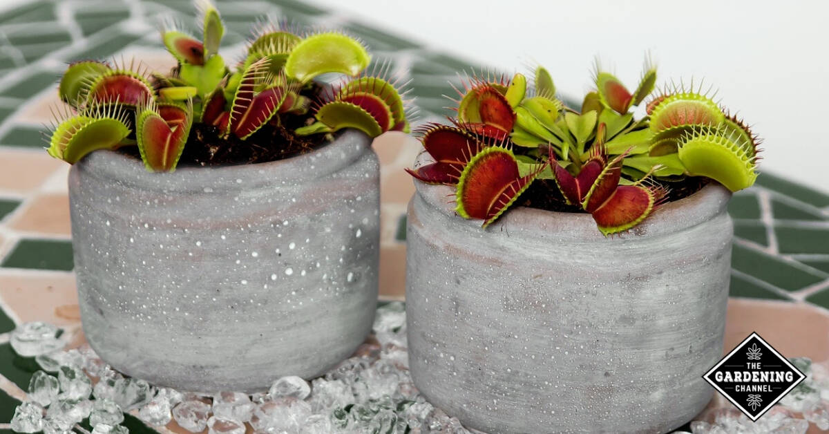 How To Grow Venus Flytrap Gardening Channel