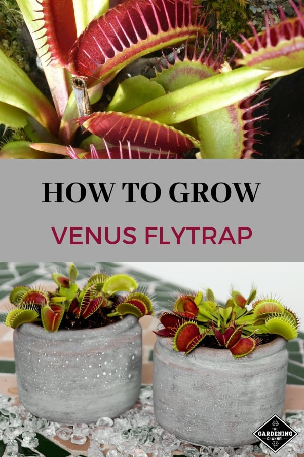 venus flytrap in outdoor garden containers with text overlay how to grow venus flytrap